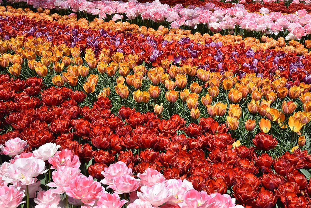 Découvrir les tulipes de Hollande à Keukenhof