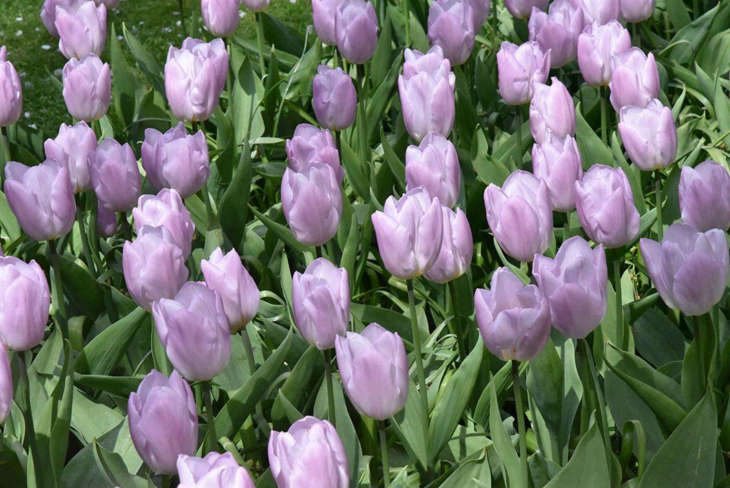Visiter le parc aux tulipes près de Amsterdam