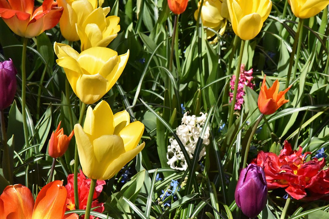 Les tulipes de Keukenhof près de Amsterdam