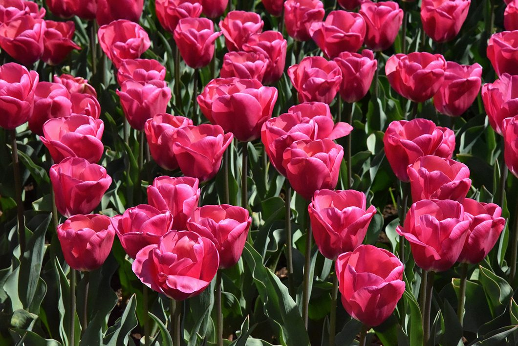 Les tulipes de Keukenhof en Hollande