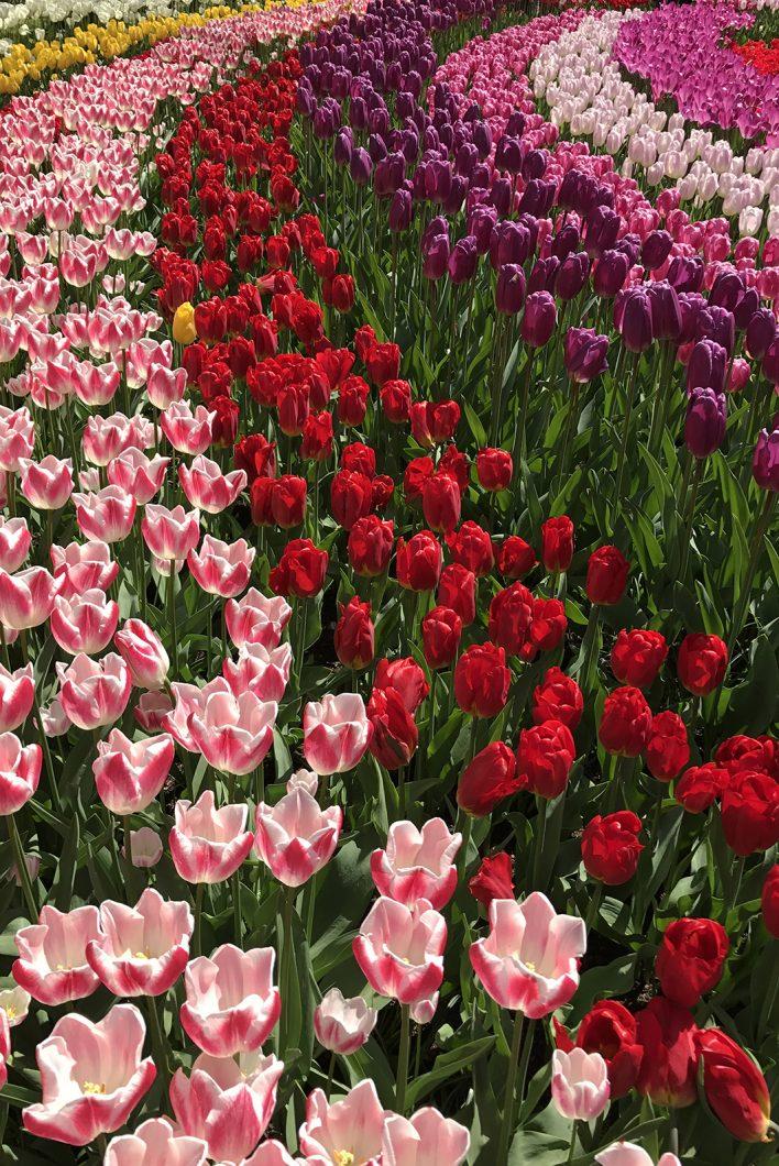 Les tulipes du parc de Keukenhof, visite incontournable en Hollande
