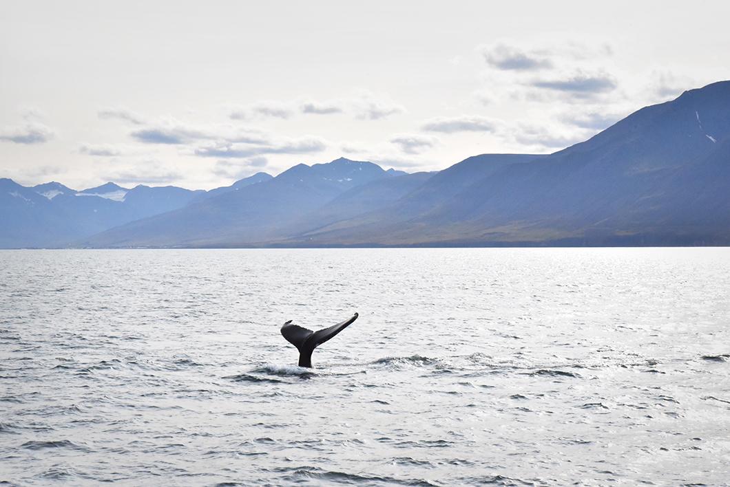 Baleines en Islande