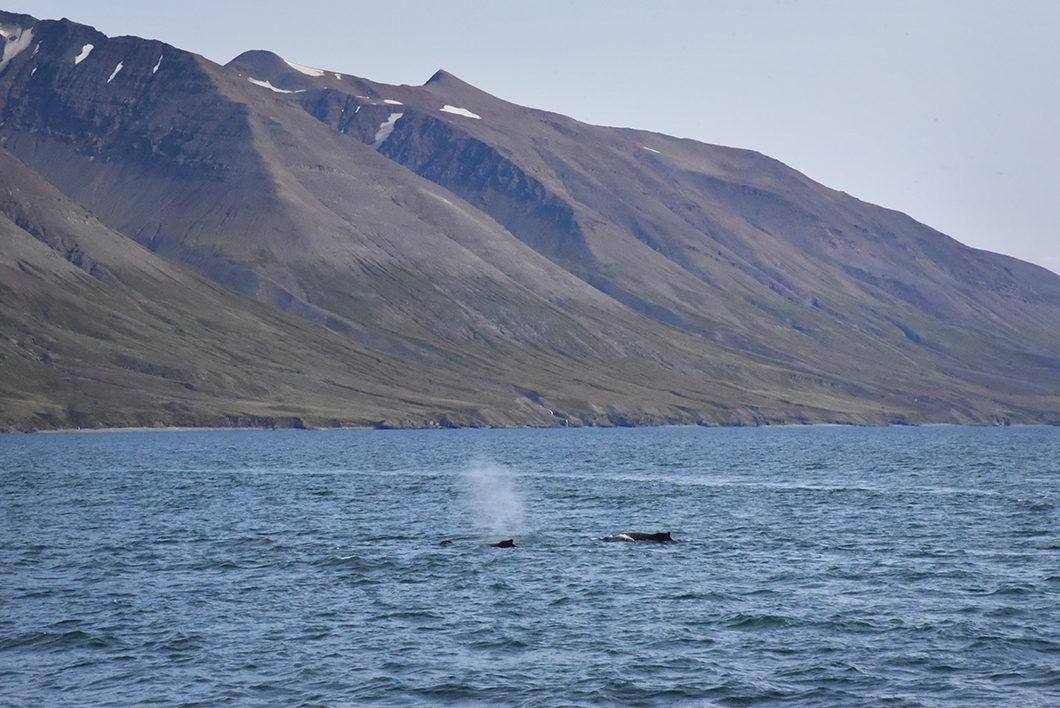 A la rencontre des baleines en Islande
