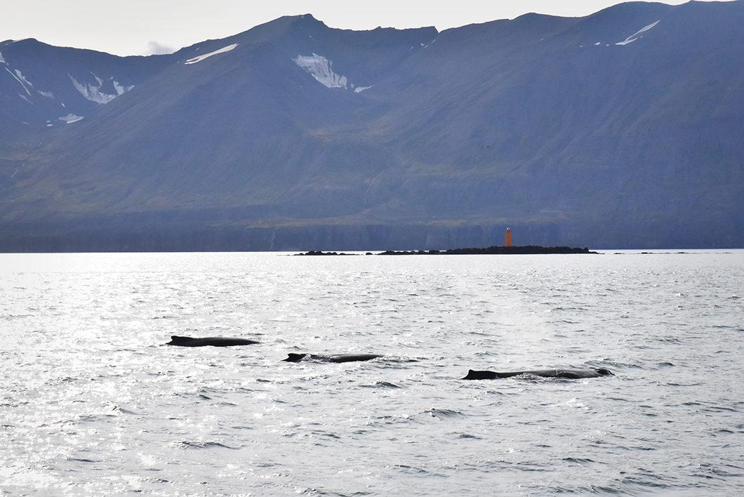 Observer les baleines en Islande