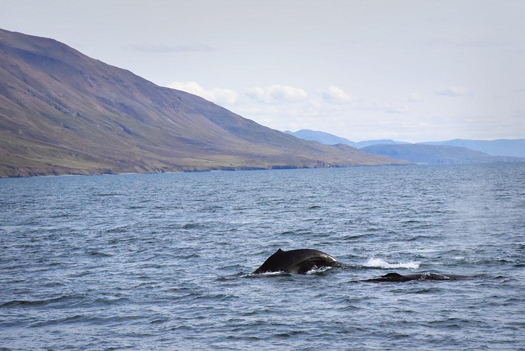 Les baleines de la mer du Groenland