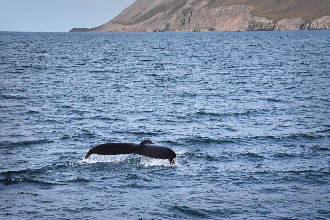 La baleine islandaise