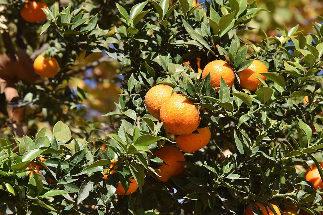 Orangers du Parc Maria Luisa