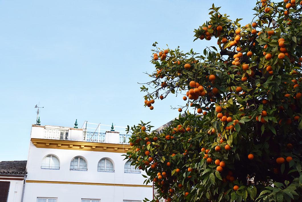 Les orangers de Séville