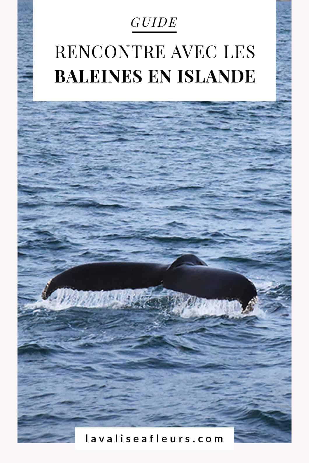 Rencontrer les baleines en Islande, le guide