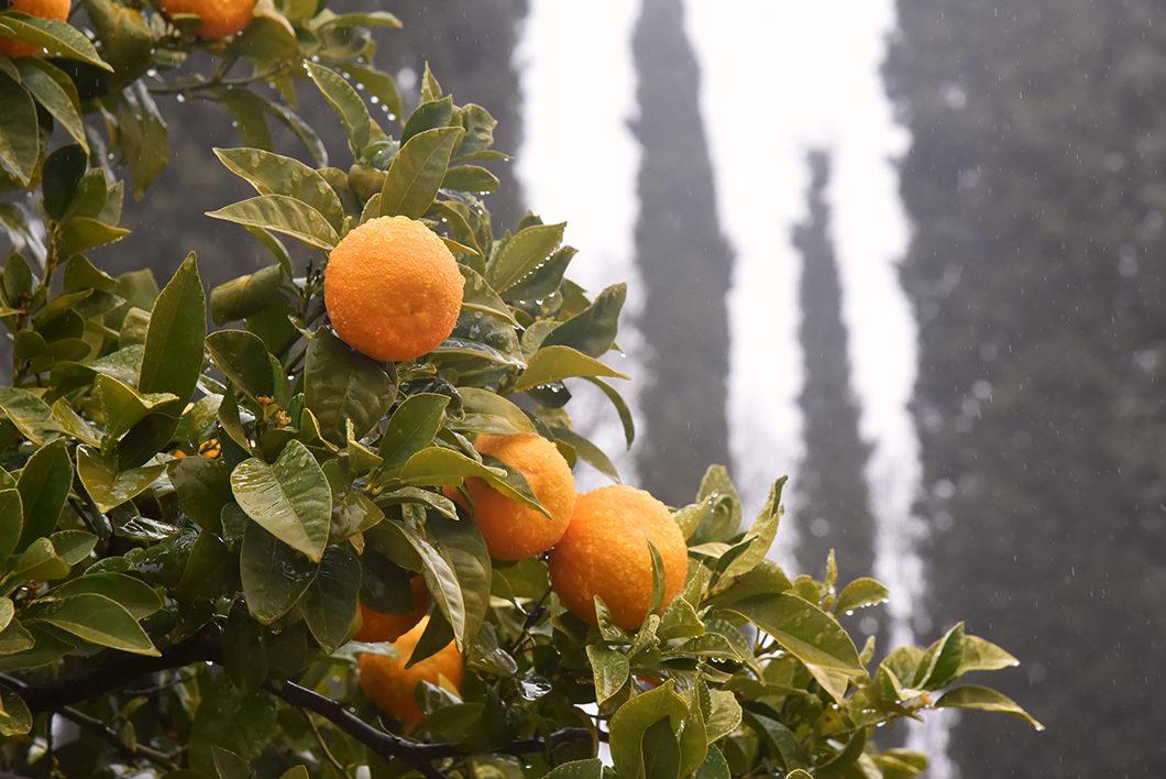 Les orangers de l'Alhambra