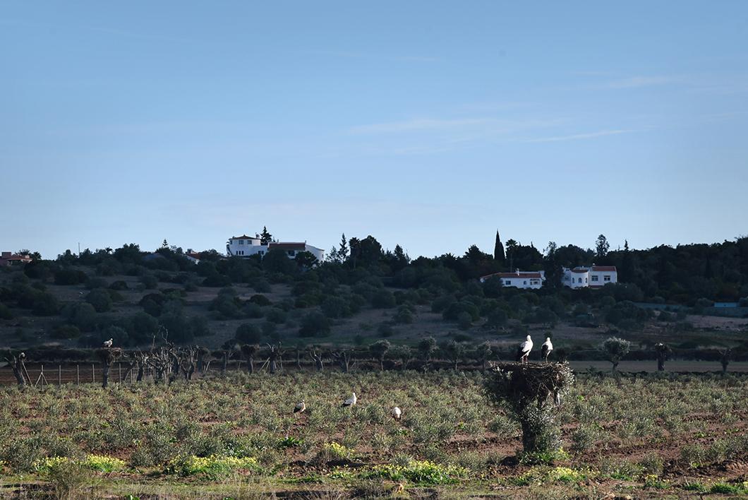 Voir les cigognes en Algarve en hiver