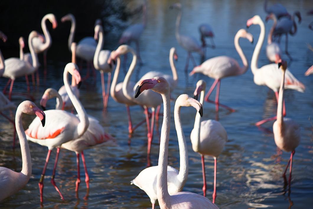 Voir des flamants roses en Camargue, Parc ornithologique de Pont-de-Gau