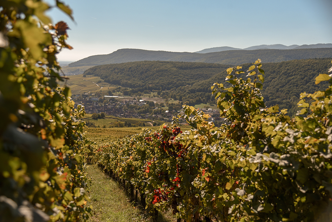 Repas dans les vignes - route des vins d'Alsace