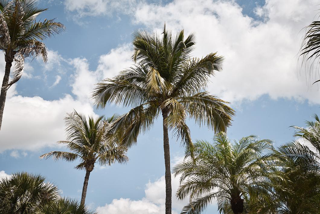 Les palmiers de la Côte ouest de la Floride
