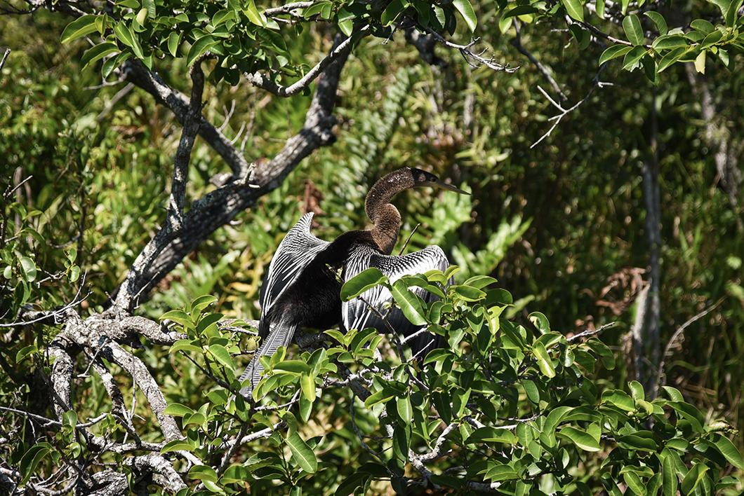 Les oiseaux du Bobcar Broadwalk Trail aux Everglades