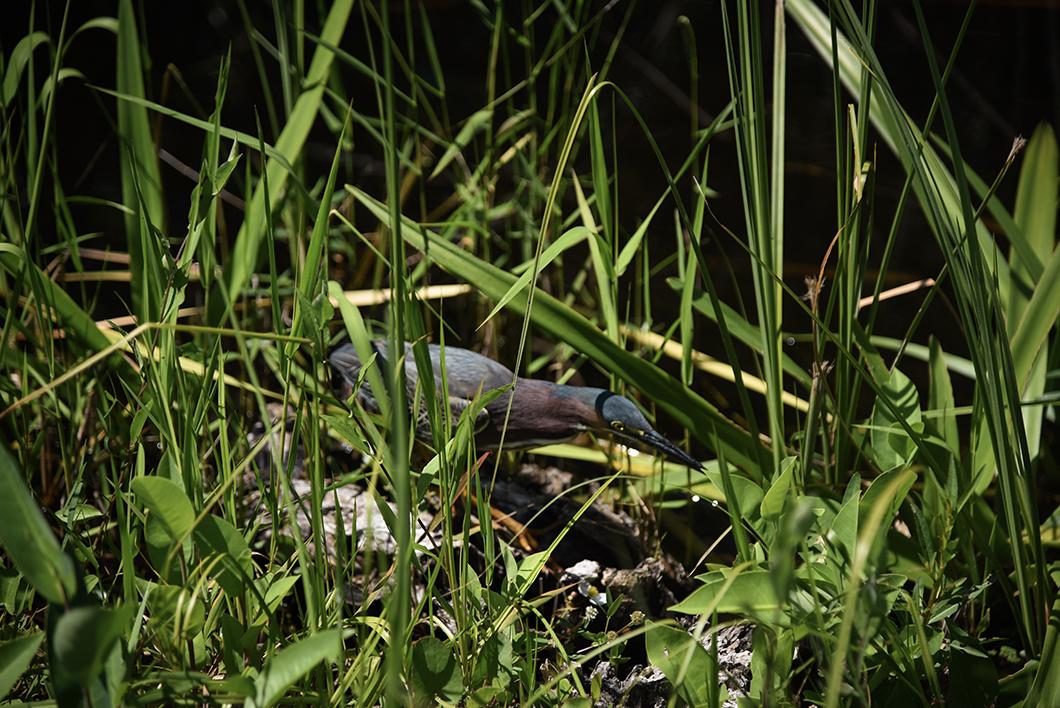 Que faire dans le parc des Everglades ? Randonnée pour observer les animaux