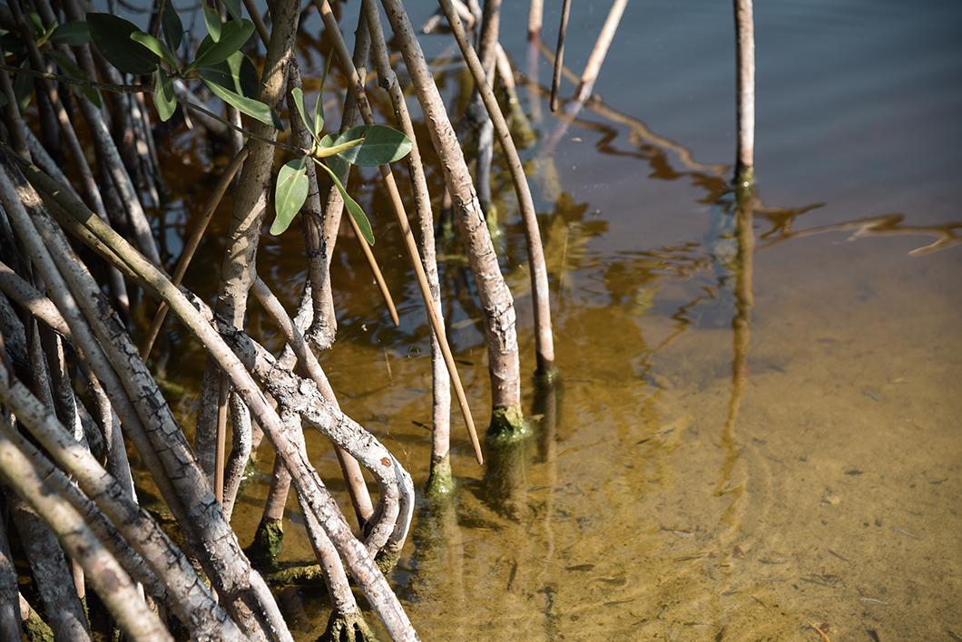 Mangrove du Kirby Storter Roadside Park
