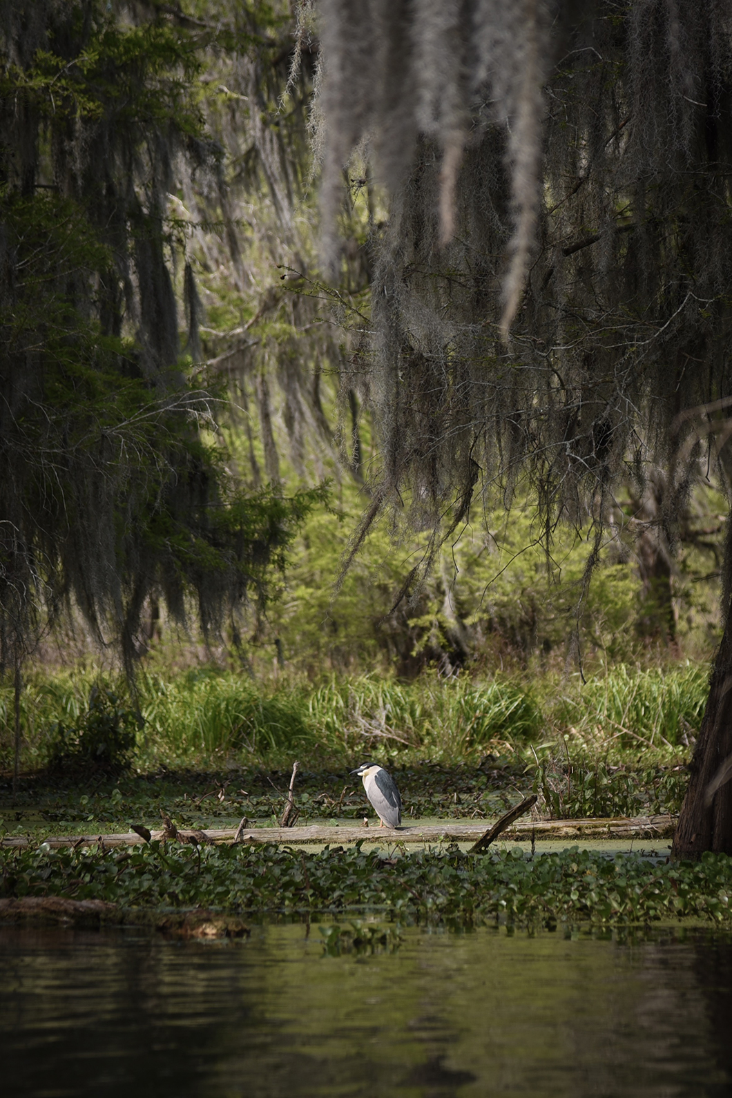 Découvrir la faune et la flore des bayous de Louisiane
