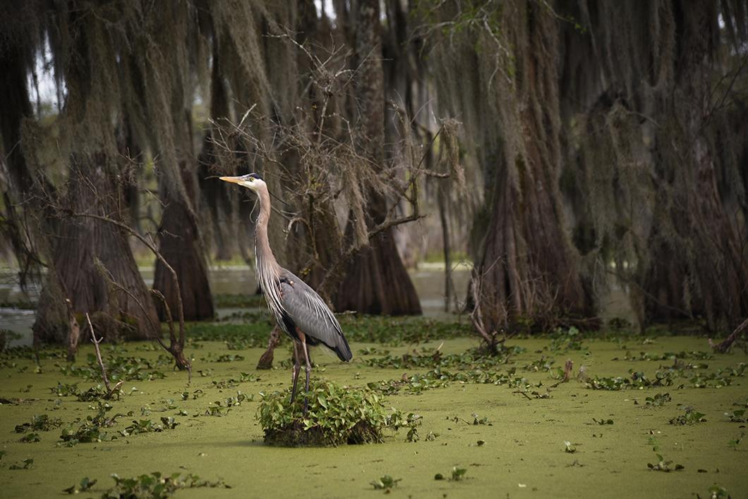 Tour en bateau dans les bayous de Louisiane avec Cajun Country Swamp Tours