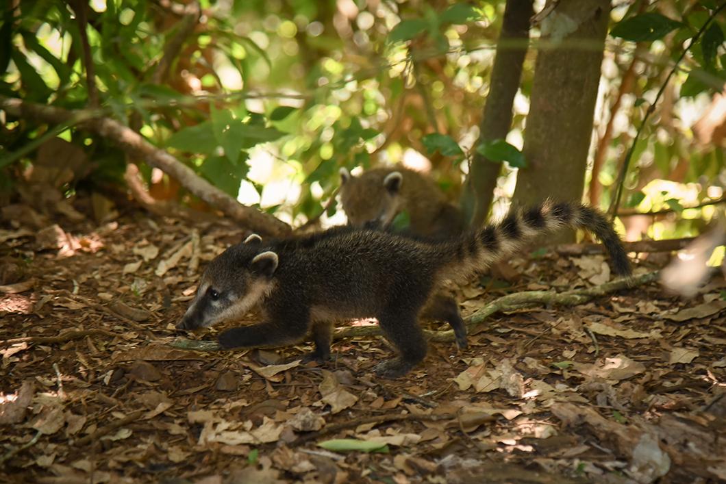 Coatis à Iguazu