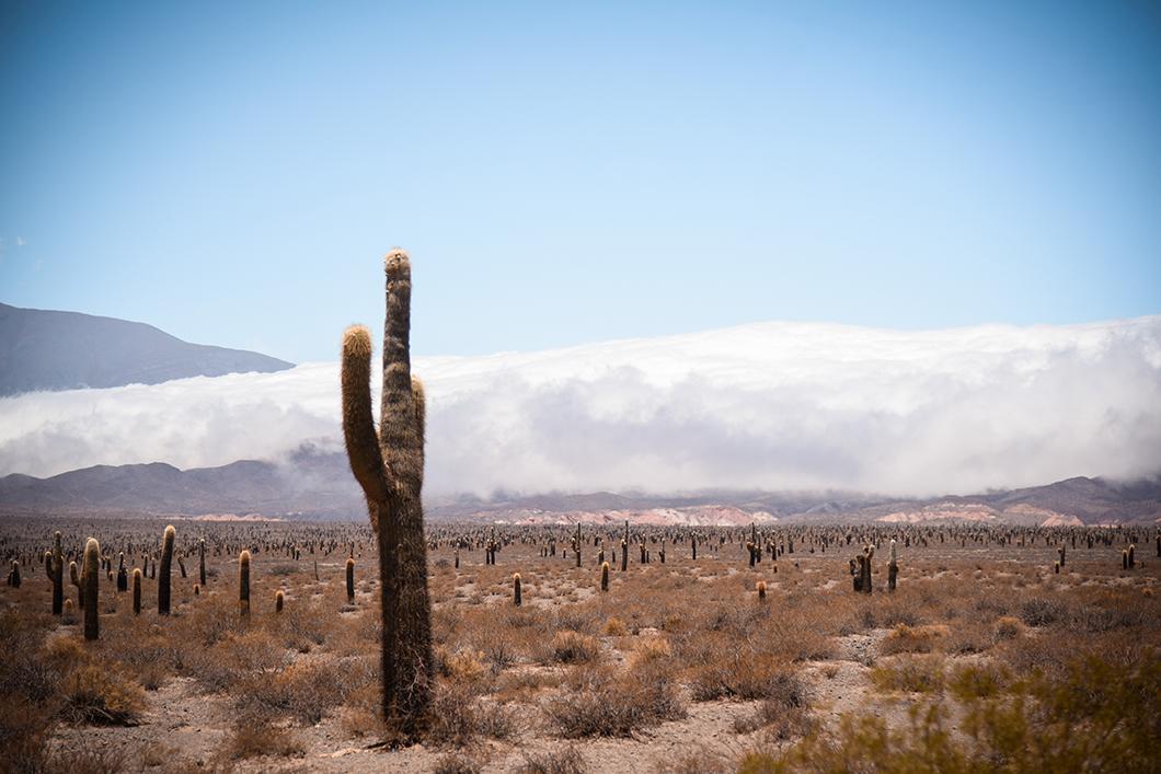 Les impressionnants cactus de Salta