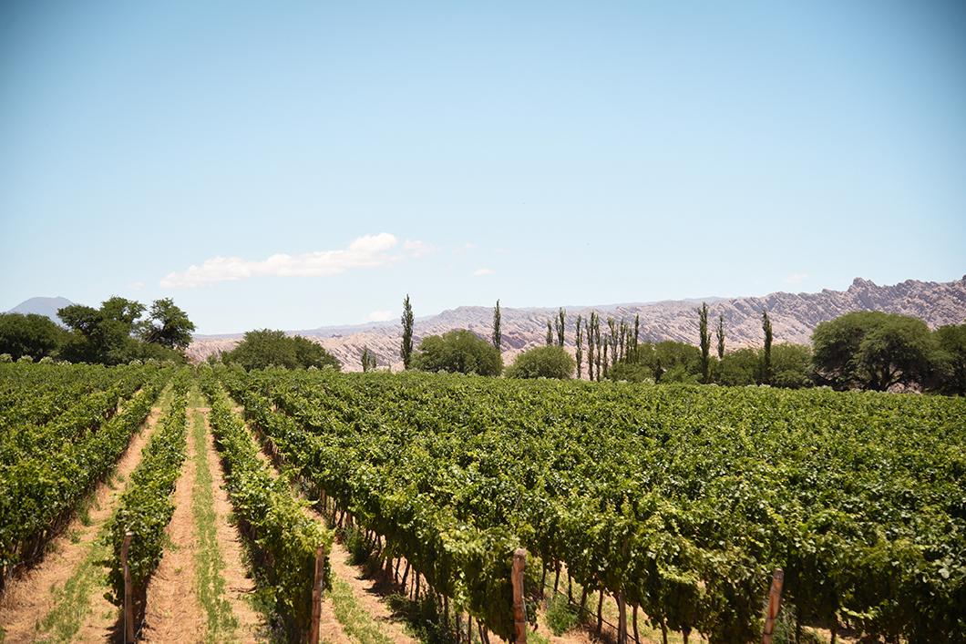 Vignoble à Cafayate