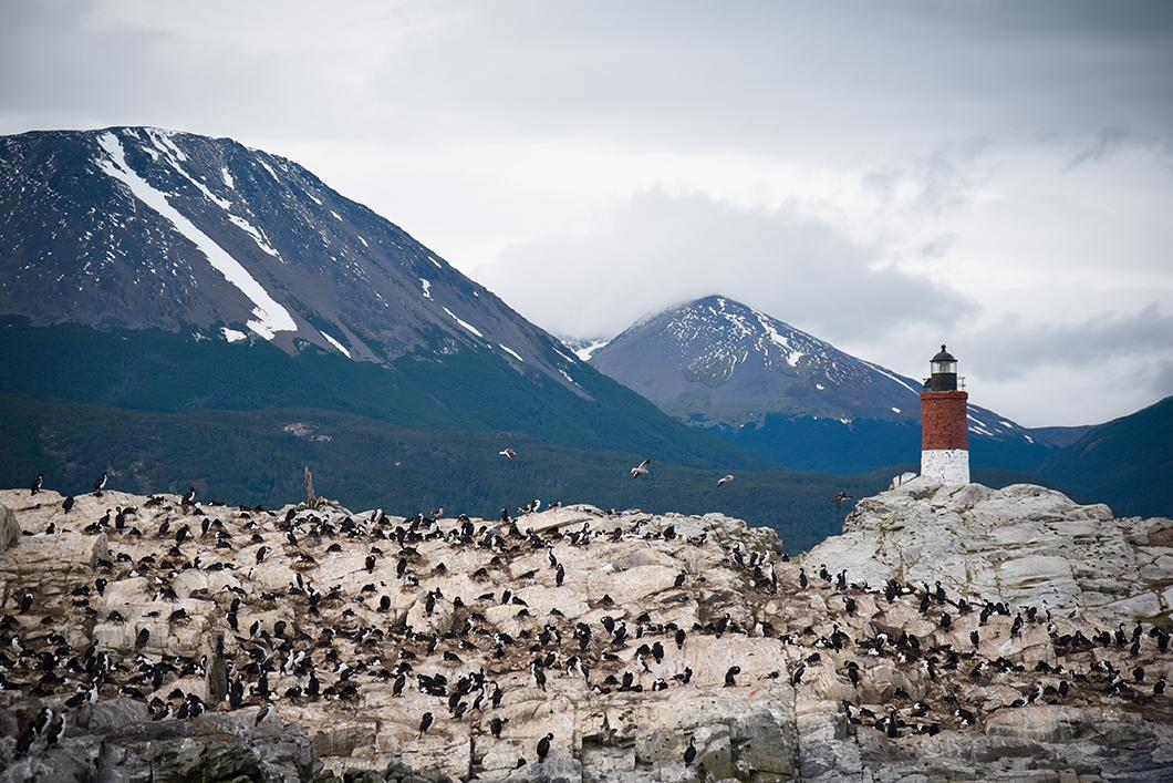 Cormorans impériaux (ou pingouins volants) à Ushuaia
