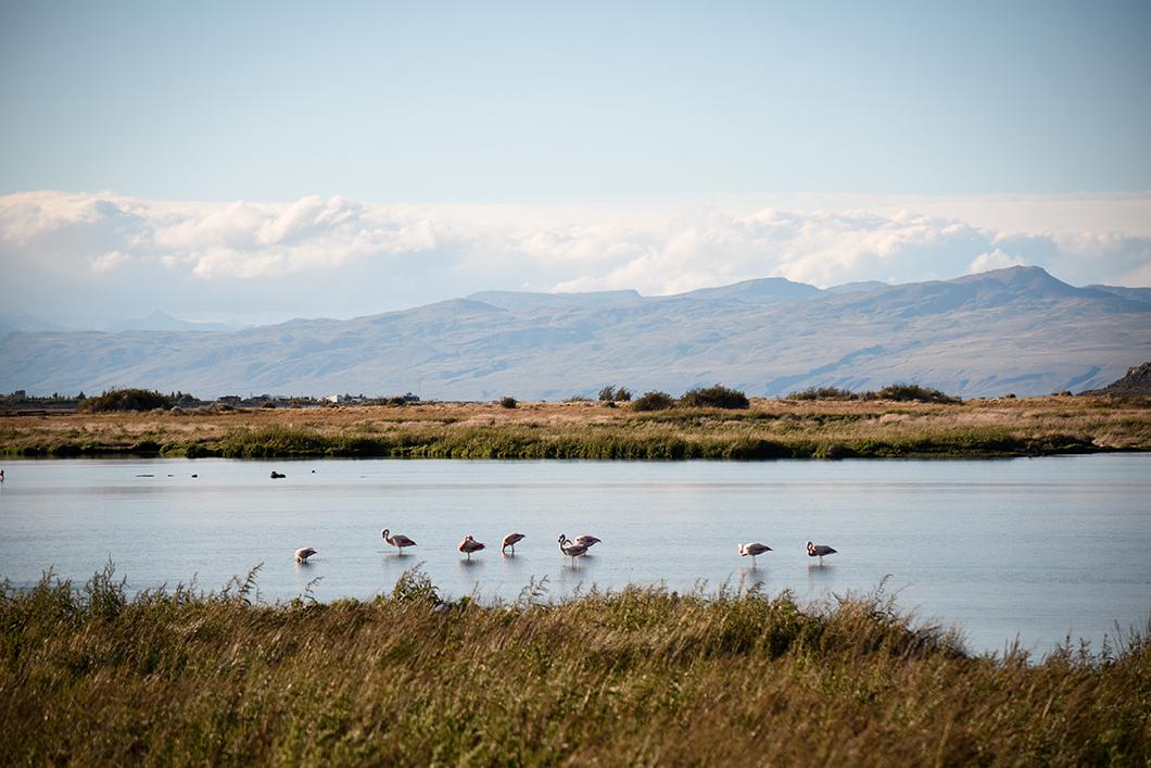Les flamands roses de Patagonie