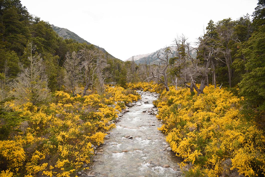 Fleurs jaunes à Bariloche