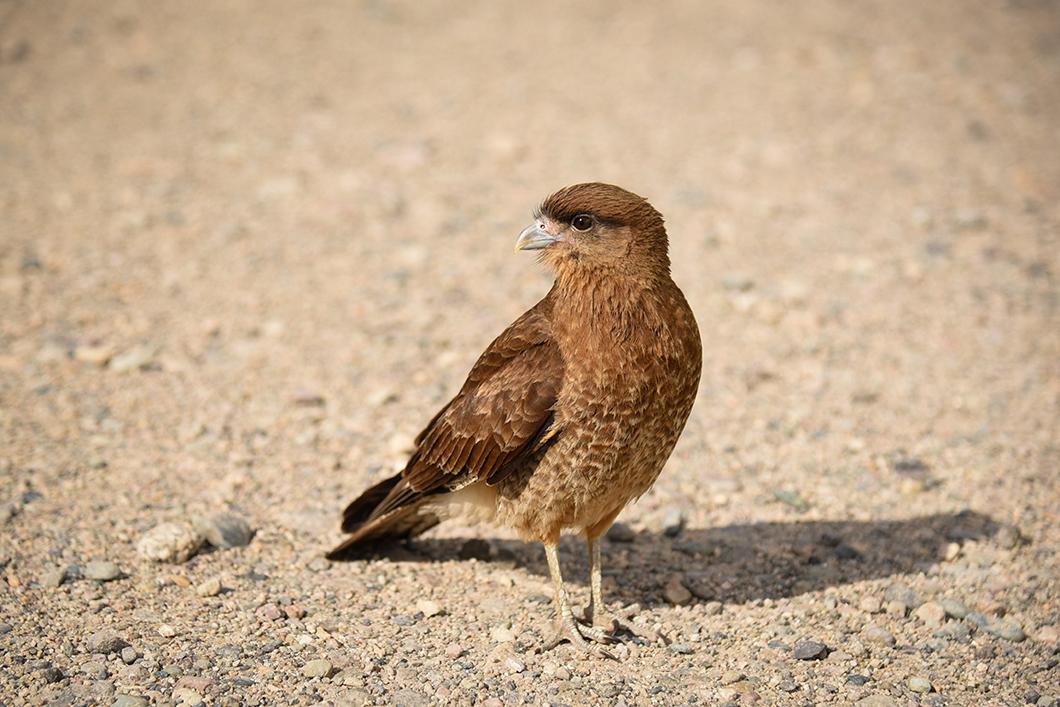 Les oiseaux de Bariloche