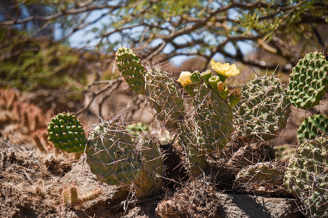 Cactus dans les Vallées Calchaquies
