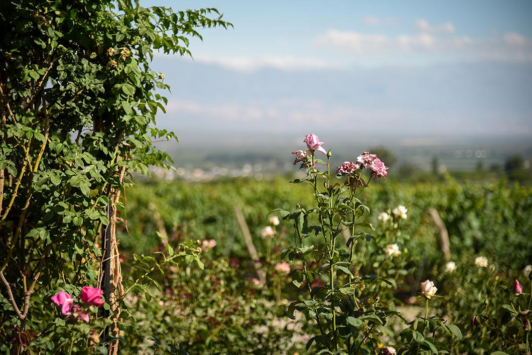 Le vignoble de la Bodega Piattelli