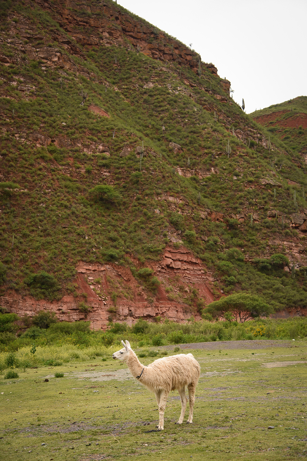 Lama dans la Quebrada de Escoipe
