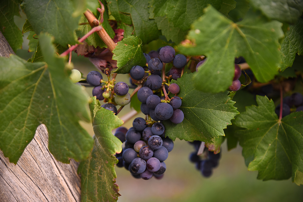 Dans les vignes de la Bodega Piattelli
