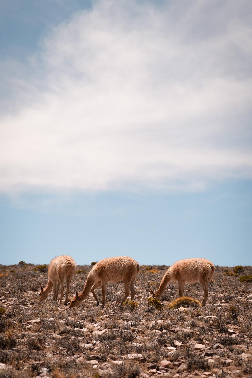 Vigognes sur la route des Salinas Grandes