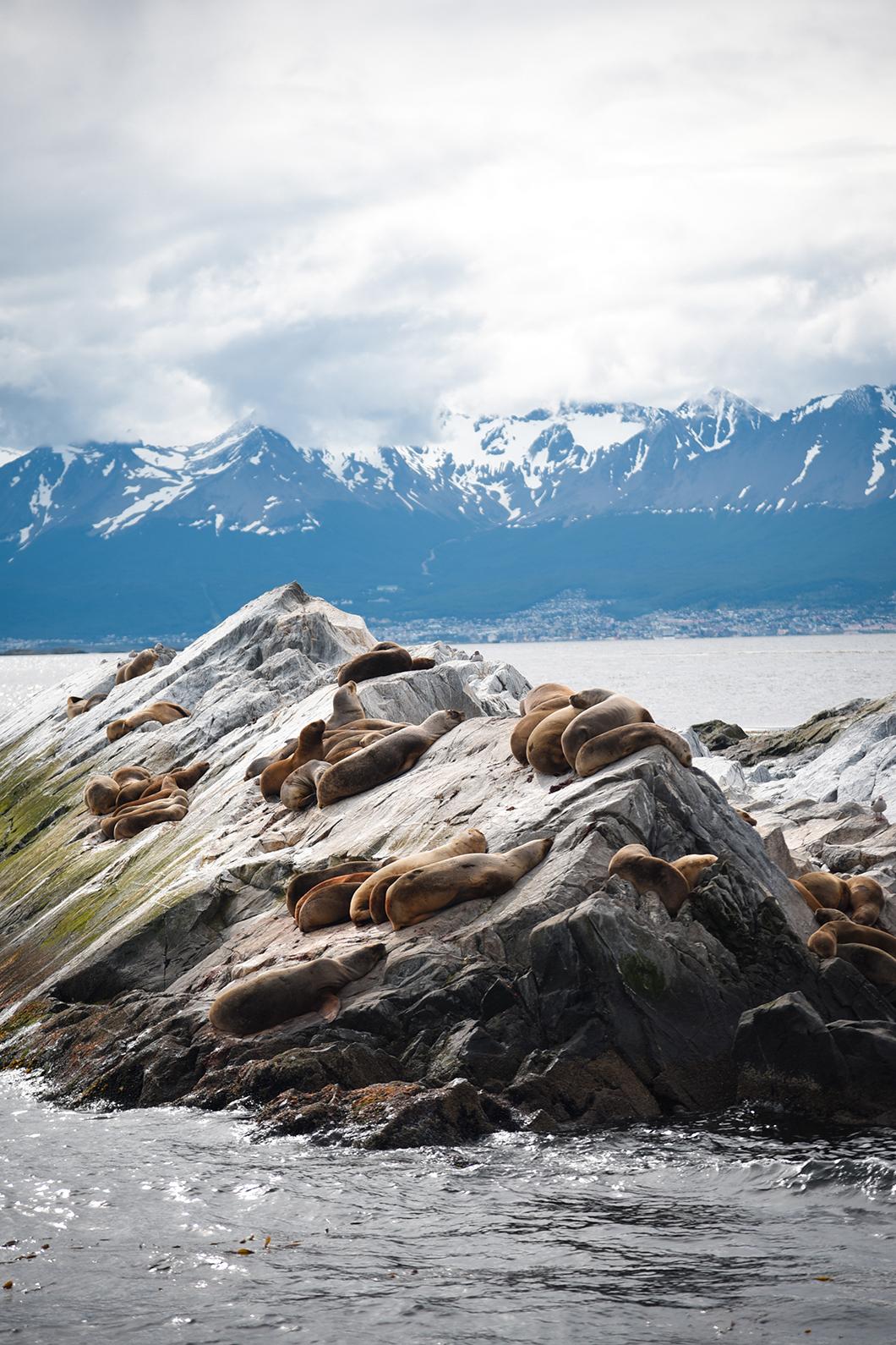 Les phoques d'Ushuaia en Patagonie