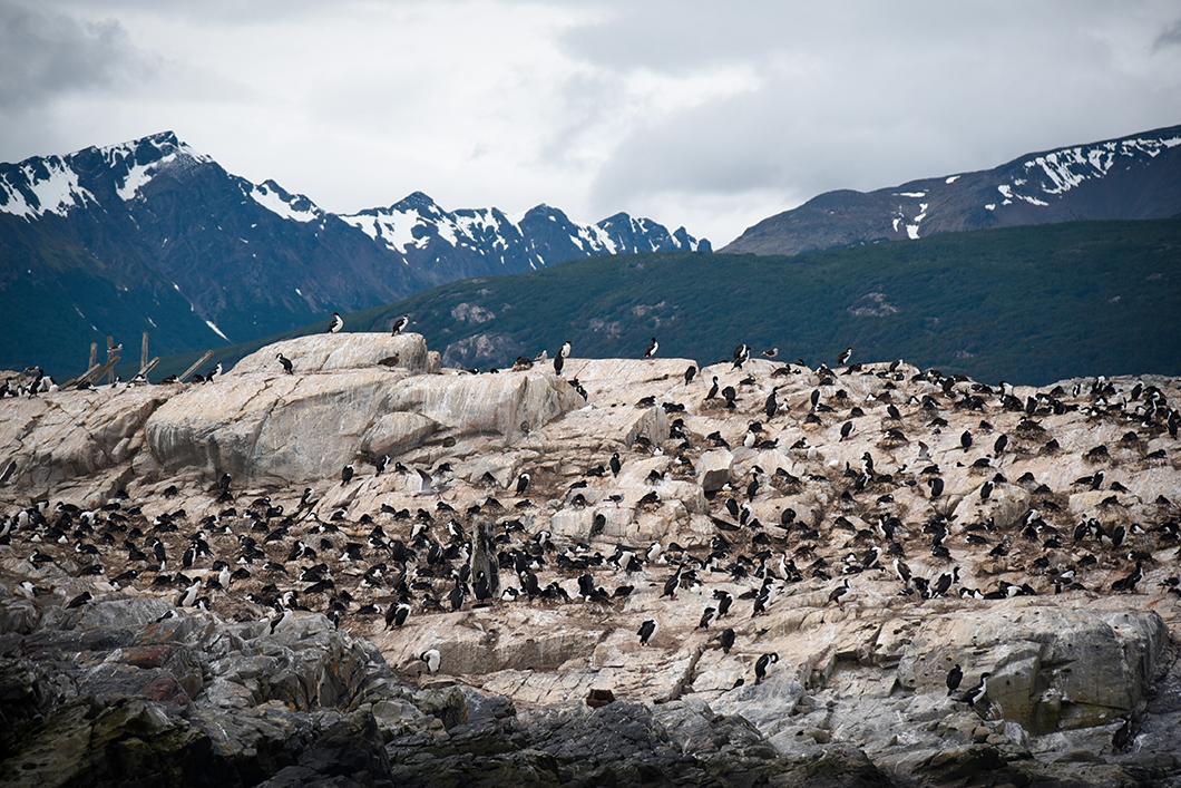 Rencontrer les cormorans à Ushuaia