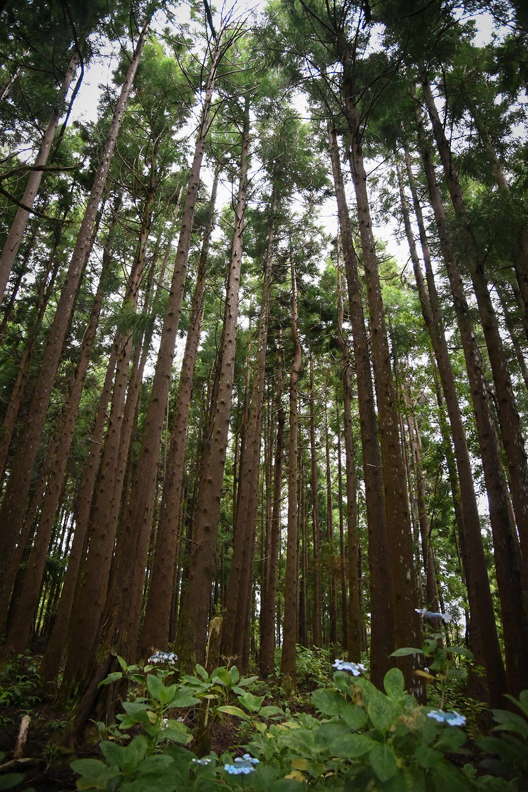 Forêts sur l'île de Faial dans les Açores