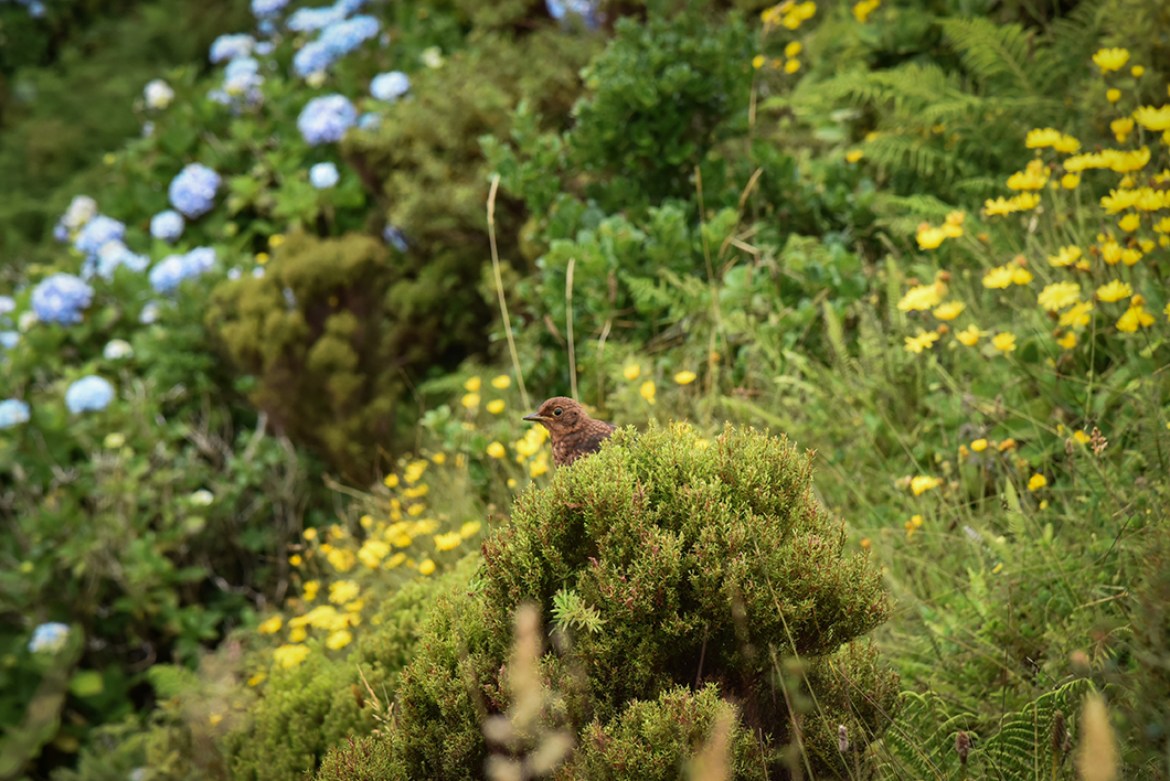 La faune de faial aux Açores