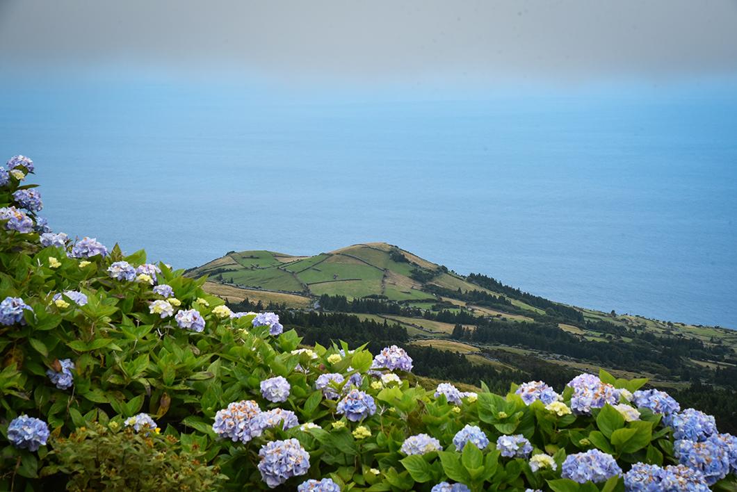 Les hortensias à la Caldeira à Faial
