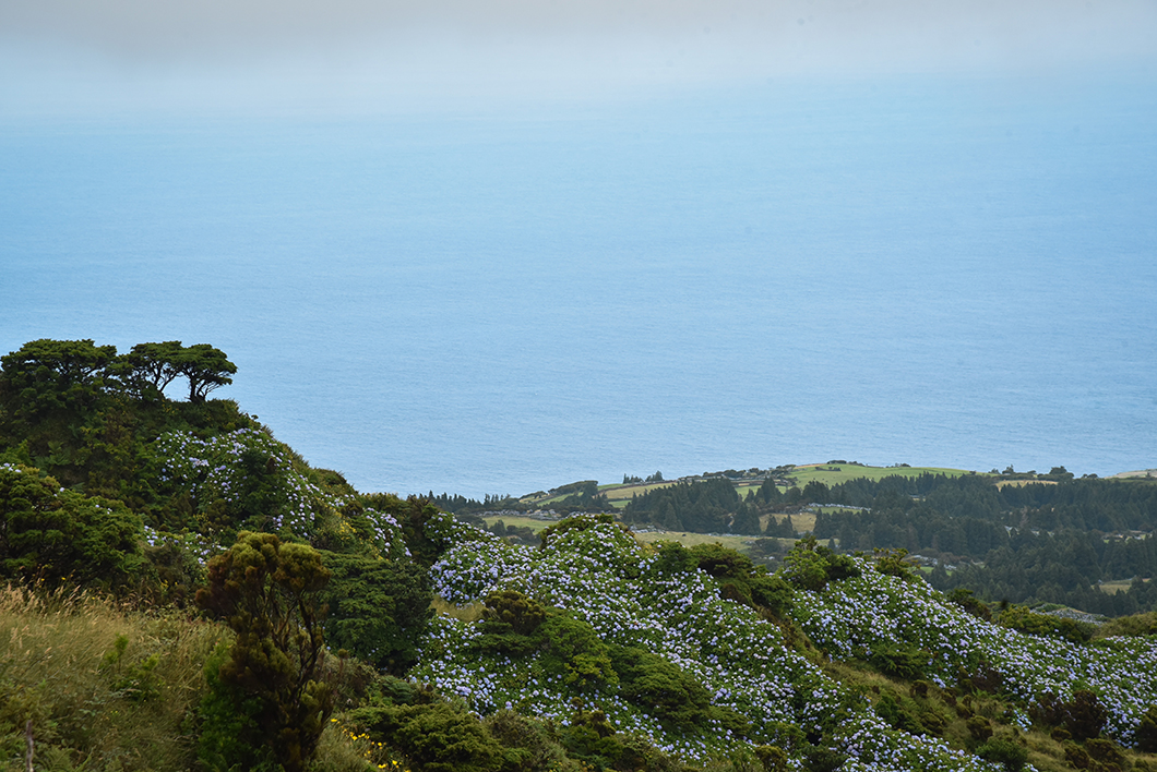 Les hortensias de Faial