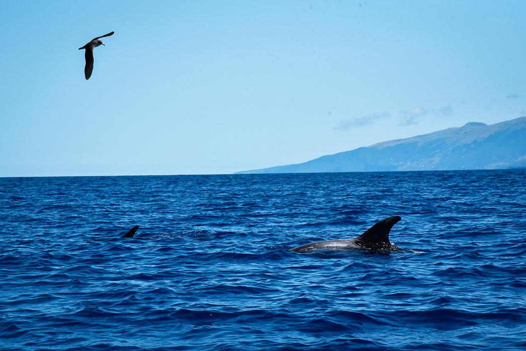 Les baleines de Madalena dans les Açores sur l'île de Pico