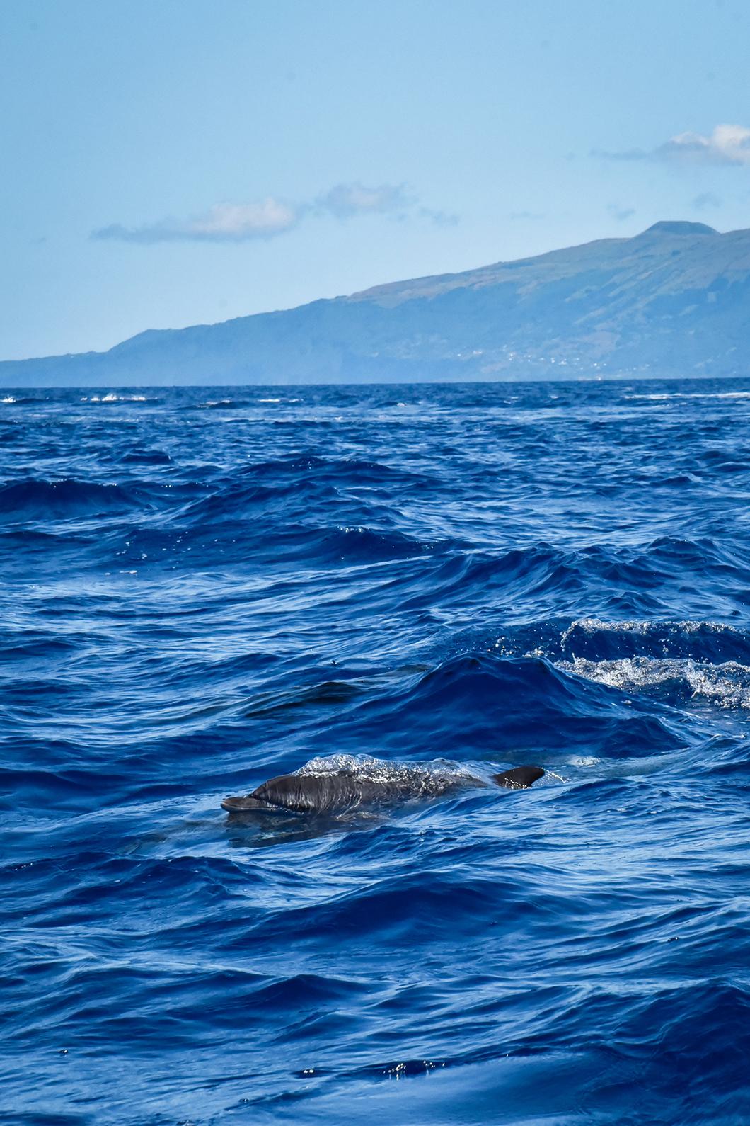 Aller admirer les baleines et dauphins dans les îles des Açores au Portugal
