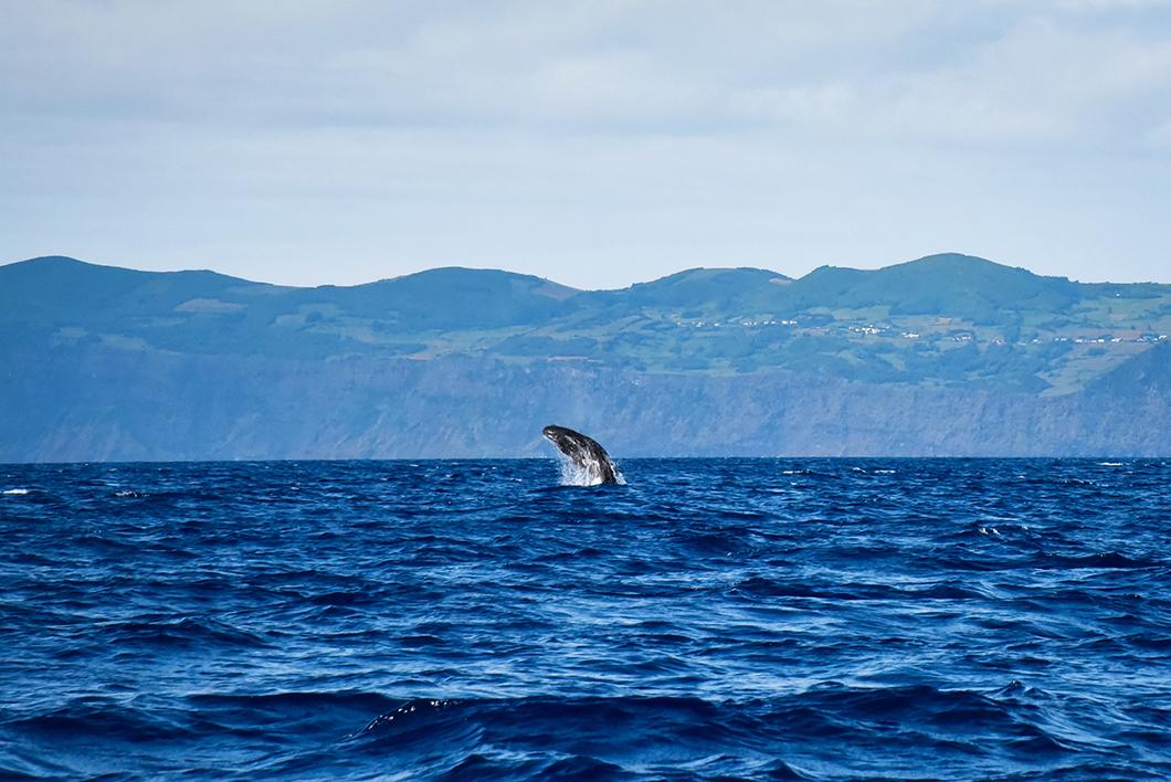 Où observer des baleines dans les Açores ? Sortie en mer à Madalena sur l'île de Pico
