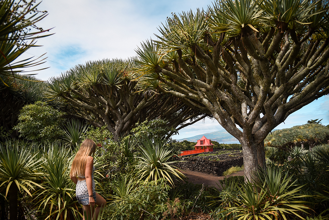 Vignobles à Pico dans les îles des Açores au Portugal