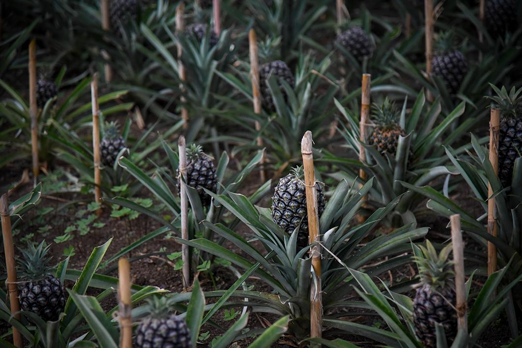 Ananases A Arruda, plantation d'ananas à Ponta Delgada dans les Açores