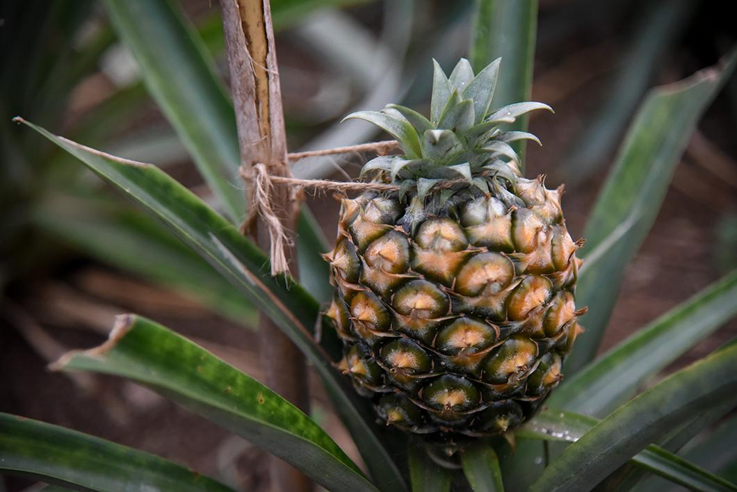 Que visiter à Sao Miguel ? Les plantations de Ananases A Arruda