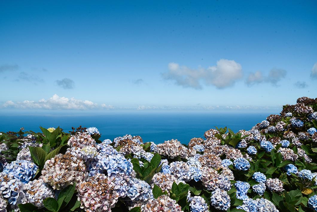 Les hortensias des Açores