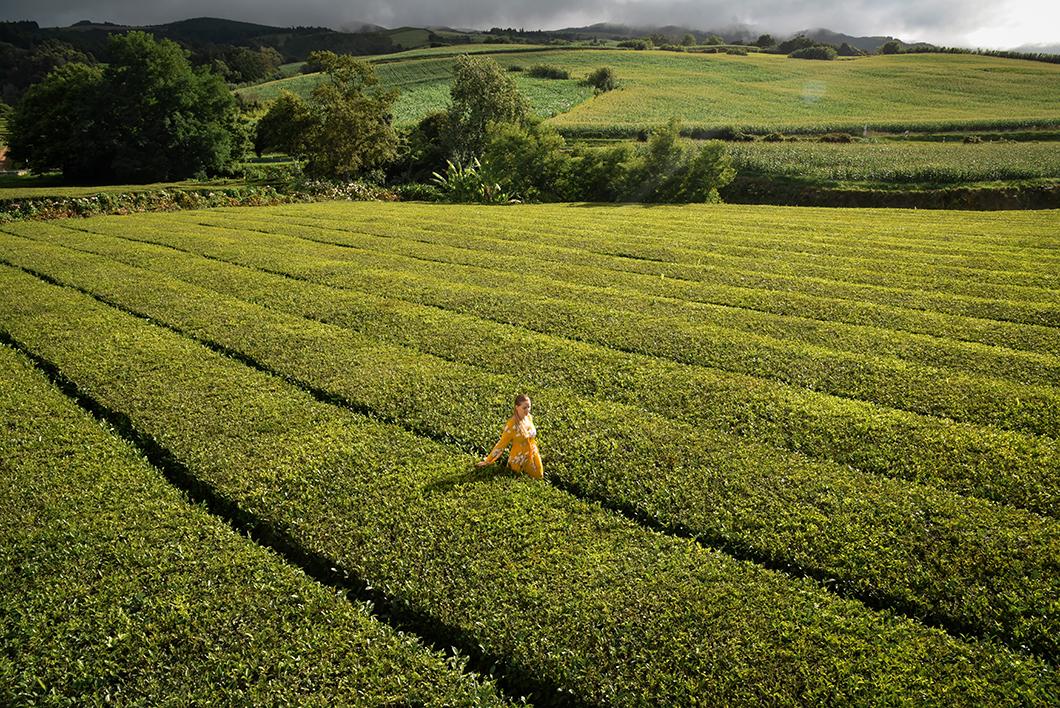 Les champs de thé dans les Açores