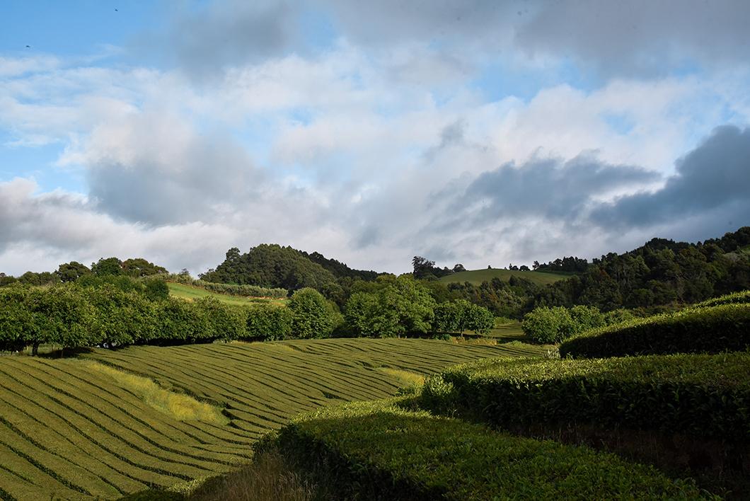 Que faire sur l'île de Sao Miguel dans les Açores ? Déguster du thé de la fabrique Gorreana